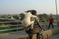 Goat on Back